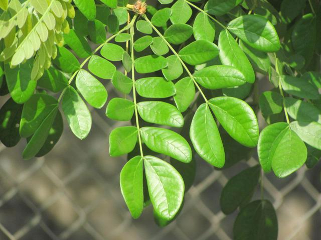 Leaves-of-Rain-Tree