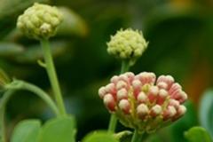 Flower-buds-of-Rain-Tree