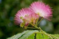 Flowers-of-Rain-Tree