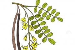 Plant-Illustration-of-Rain-Tree