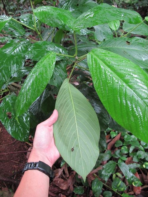 Leaves-of-Rambai