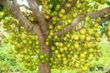 Rambai-fruit-on-the-tree
