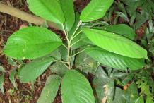Small--Rambai-Plant