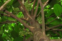 Rambai-Plant