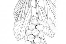 Sketch-of-Rambai