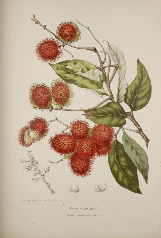 Illustration-of-Rambutan