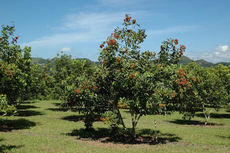 Rambutan-farm