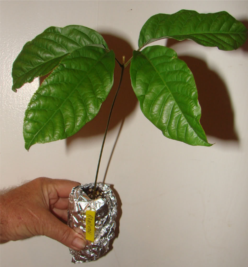 Rambutan-plant