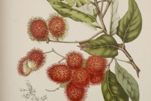 Illustration-of-Rambutan