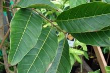 Leaves-of-Rambutan