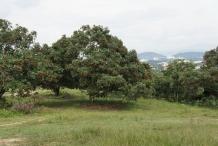 Rambutan-tree
