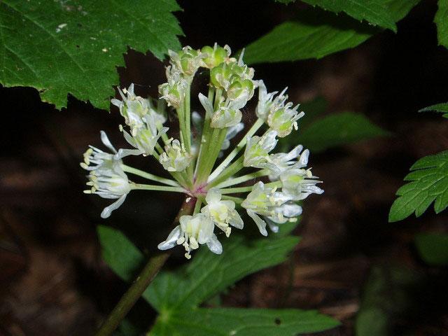 Flowers-of-Ramp