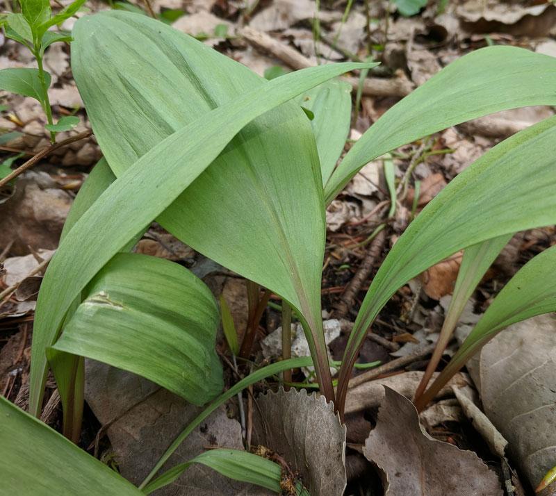 Leaves-of-Ramp-plant
