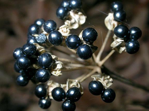 Mature-fruit-pods-of-Ramp