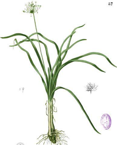 Plant-Illustration-of-Ramp