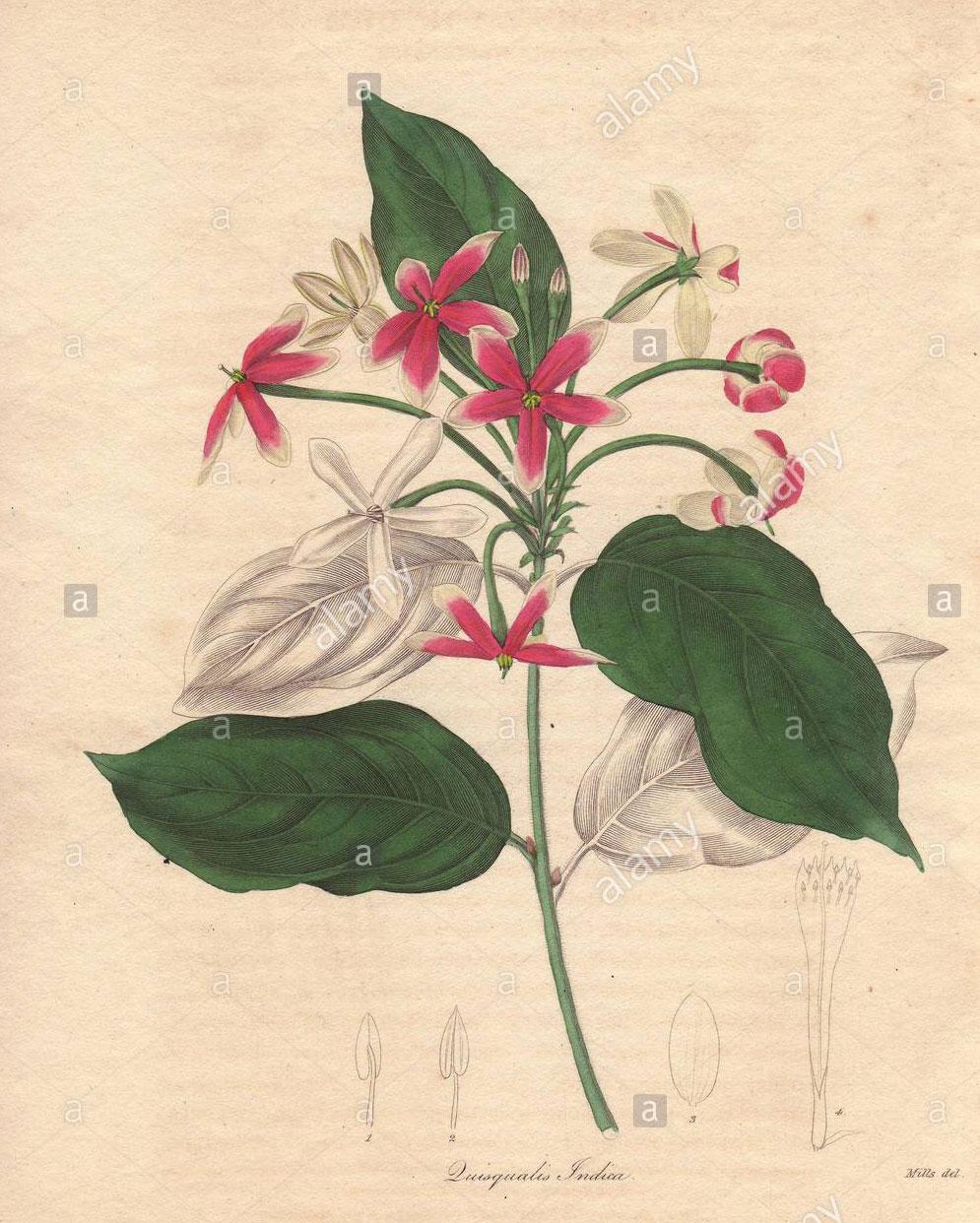 Plant-Illustration-of-Rangoon-creeper