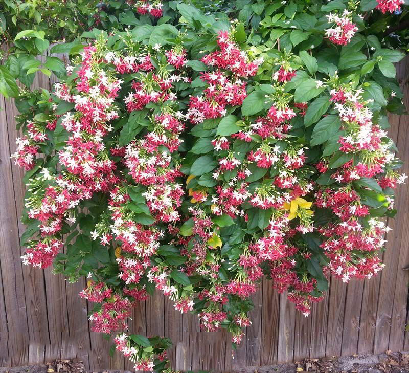Rangoon-creeper-plant
