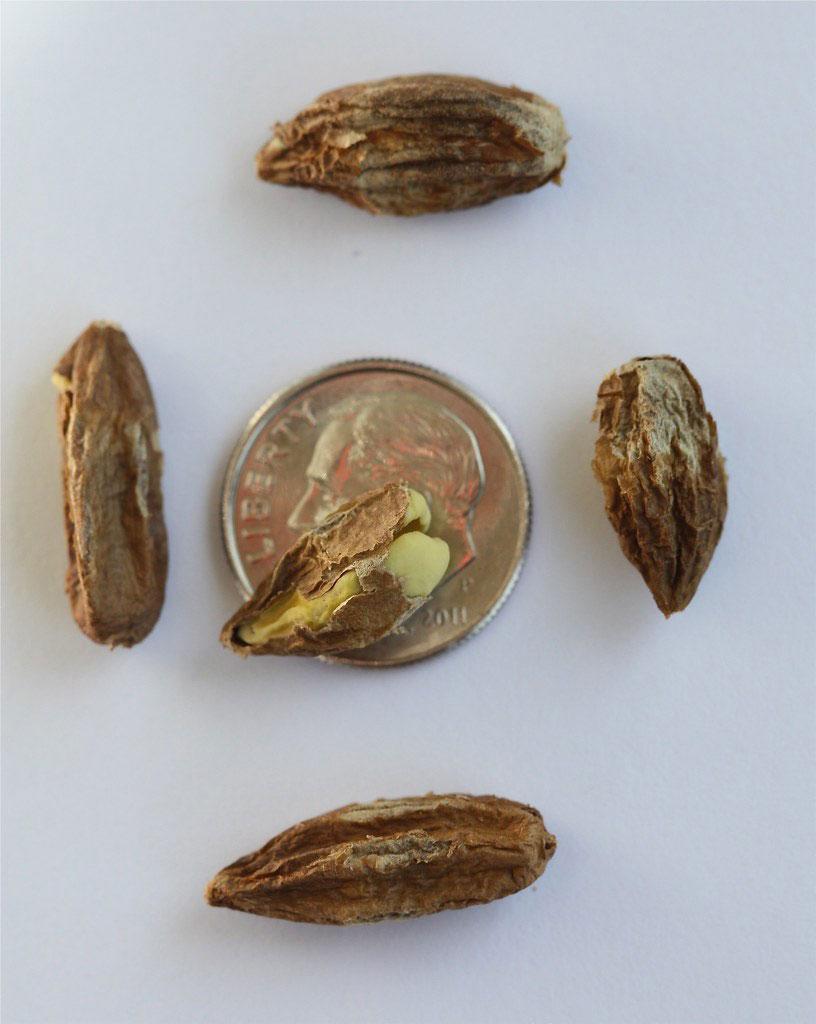 Seeds-of-Rangoon-creeper