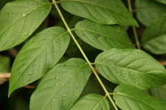 Leaves-of-Rangoon-creeper