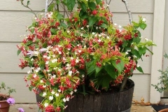 Rangoon-creeper-Plant-grown-on-pot