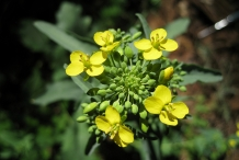 Close-up-flower-of-Rapini