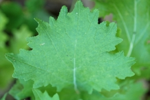 Leaves-of-Rapini