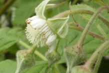 Raspberries-flower-buds