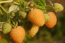 Yellow-raspberries