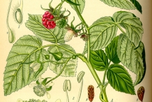 Raspberries-plant-illustration