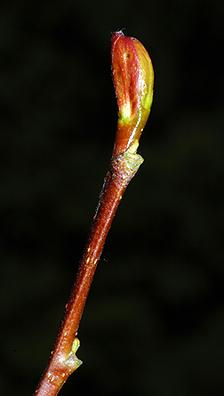 Twig-of-Red-Alder