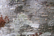 Bark-of-Red-Alder-Tree