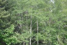 Red-Alder-Tree