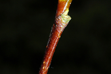 Twig-of-Red-Alder
