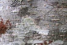 Bark-of-Red-Alder-Tree