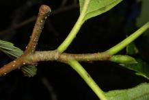 Branch-of-Red-Alder-plant