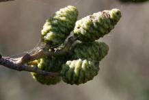 Green-Female-Catkins
