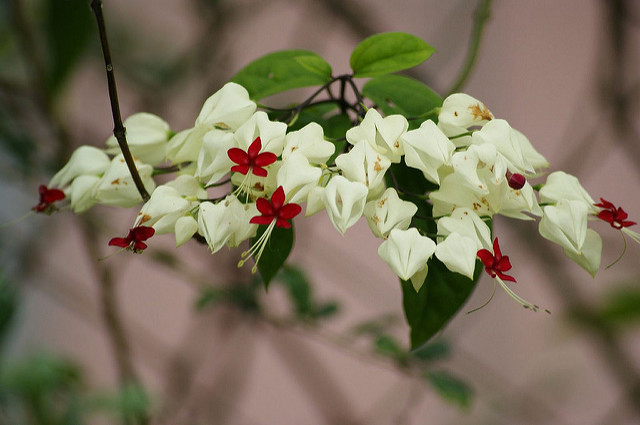 Red-angled-tampoi-flowers