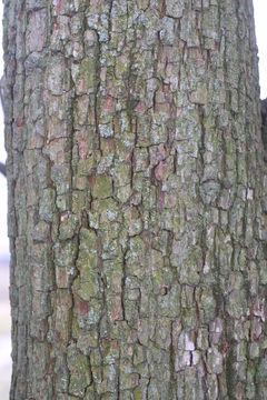 Bark-of-Red-Anjou-Pear