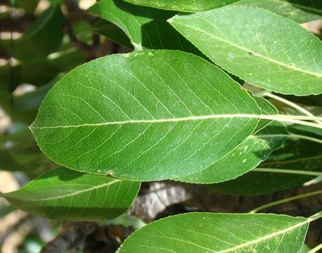 Leaves-of-Red-Anjou-Pear