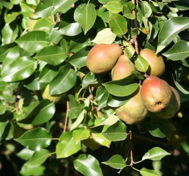 Red-Anjou-Pear-on-the-plant
