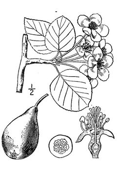 Sketch-of-Red-Anjou-Pear