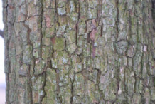 Bark-of-Red-Anjou-Pear