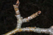 Closer-view-of-Twig