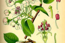 Plant-Illustration-of-Red-Anjou-Pear