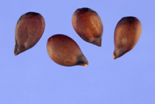 Seeds-of-Red-Anjou-Pear