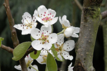 Flowers-of-Red-Anjou-Pear