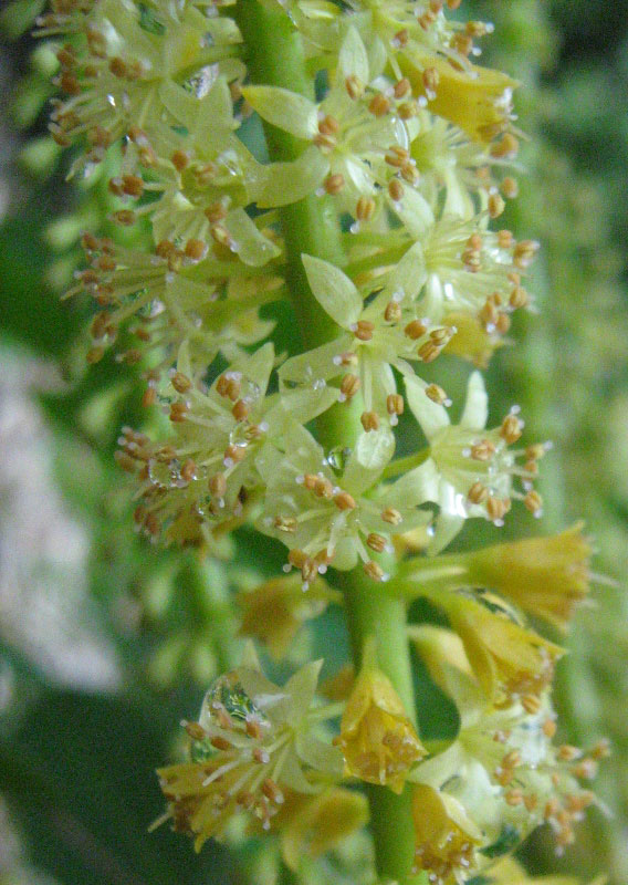 Closer-view-of-flower-of-Red-Bead-Tree