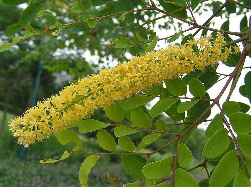 Flowers-of-Red-Bead-Tree