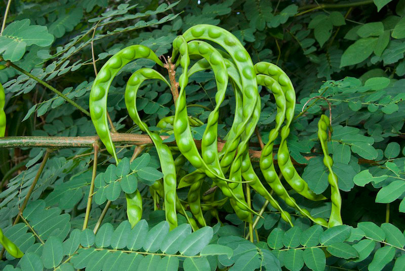 Immature-seedpods-of-Red-Bead-Tree
