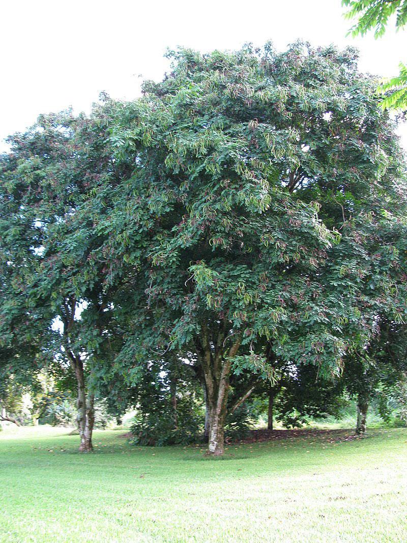 Red-Bead-Tree